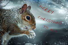 Christmas Squirrel (Diane G. Zooms---Mostly Off) Tags: christmassquirrel squirre easterngreysquirrel wildlife nature dianegiurcophotography alittlebeauty awardtree tistheseason ngc coth npc coth5 bestofsquirrels fantasticnature sunrays5