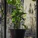 Potplant Vine