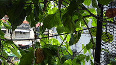 Leafy Vine (Theen ...) Tags: 2018 georgetown penang downpipe chowrasta parking lumix tough pot theen concrete healthy texture malaysia carpark plant white leafy plastic mould potplant market shade wall green fresh yellow station vine