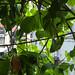 Leafy Vine
