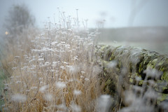 On a freezing, foggy, day (tonguedevil) Tags: outdoor outside landscape countryside nature plants wall hedgerow morning fog freezing colour light shadows fuji autumn
