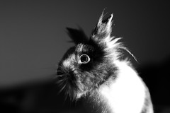 Réglisse prend la pause (uluqui) Tags: canon 6d fullframe sigma art 50mm rabbit bunny animal cute portrait lowkey noiretblanc blackandwhite bokehlicius