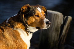 Incredible Friend (michael.cessna) Tags: harley dogs dogportrait dog pets petportrait friend portrait companion 300mm f45 300mmf45ais nikon