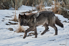 Trotting Wolf DSC_7472Dec 20 201969 (Stormpeak_1) Tags: yellowstonenationalpark yellowstone nationalparks nature wildlife wilderness wolf animals mammals nikon nikond500 nikon80400mm coolshot action