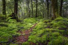 Enchanted -Kepler Track Fiordland N.P DSC_4297 (BlueberryAsh) Tags: keplertrack milfordsound milfordsoundroad newzealand teanau rain travel weather forest beechforest ancient light green path