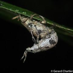 Broad-nosed Weevils (Entiminae)