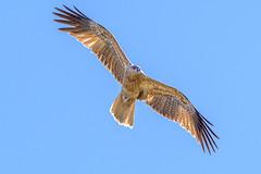 whistling kite (Fat Burns ☮) Tags: whistlingkite haliastursphenurus kite raptor bird australianbird fauna australianfauna hawk nikond500 nikon20005000mmf56 buckleyshole bribieisland queensland australia