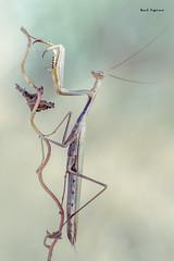 Mantis (Raul Espino) Tags: canon100mml canon6dmarkii macro macrofotografia natural naturaleza sevilla mantis mantisreligiosa insectos