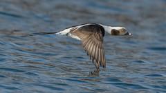 Long-tailed Duck  3927 (Paul McGoveran) Tags: bif bird birdinflight burlington burlingtonliftbridge duck lakeontario longtailedduck nature nikon500mmf4 nikond850 ontario wings coth coth5