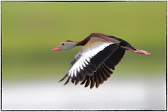 Black bellied whistling  duck (EXPLORE, Dec 20 2019) (RKop) Tags: apollobeach florida raphaelkopanphotography d500 600mmf4evr handheld nikon nature wildlife birds 14xtciii