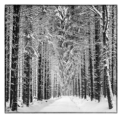 Winter forest near Kell am See (werner-marx) Tags: analog film meinfilmlab mediumformat agfaisoletteiii solinar kodakportra160 kellamsee forest trees snow winter