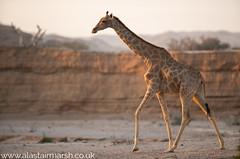 Desert Giraffe (Alastair Marsh Photography) Tags: giraffe giraffes namibia nature animal animals animalsintheirlandscape wildlife mammal mammals africa africanwildlife africanmammal africanmammals photography travelphotography wildlifephotography hoanib hoanibriver hoanibvalley desert sand dunes sanddune sanddunes sunlight sun sunset dusk