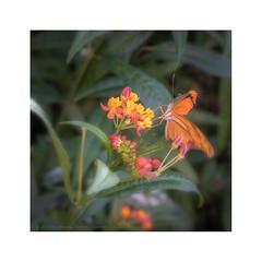 Butterfly on Flower (My digital Gallery) Tags: butterfly schmetterling flower blume orange yellow gelb blätter grün
