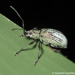 Broad-nosed Weevil (Entiminae)
