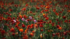 being different - anders sein (ralfkai41) Tags: difference plant pflanzen field mohn blossoms nature poppy blüten poppies feld flowers blumen natur unterschiede