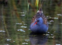 Râle d' eau mâle (boblecram) Tags: rallus aquaticus râle d eau oiseau bird nature rallidé
