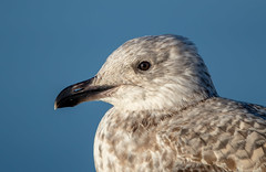 Great Black Backed Gull (Simon Stobart) Tags: great black backed gull juv larus marinus portrait north east england uk