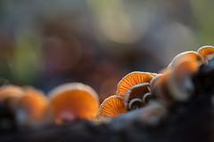 La lumière du soleil couchant traverse ces champignons pour révéler leurs subtiles lamelles. (AquaNat-photo) Tags: mushroom champignon nature naturelovers naturalexposure fungi mycologie