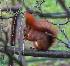 morning neighbor from in front of the window (marek&anna) Tags: kraków krakow squirrel branches gingerhair winter panasonicdcfz82 lumix dcfz82