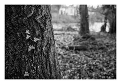 FILM - Ivy on a tree-trunk (fishyfish_arcade) Tags: 35mm analogphotography bw blackwhite blackandwhite filmphotography filmisnotdead hp5 istillshootfilm monochrome olympusom1 zuiko28mmf35 analogcamera film ilford mono tree ivy