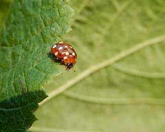 Cream-spot! (rockwolf) Tags: creamspot ladybird beetle calvia14guttata calviaquattuordecimguttata coleoptera coccinellidae coccinelle coccinelleà14points insect stanmorecp shropshire rockwolf coccinellinae