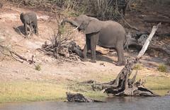 Slope Elephants (peterkelly) Tags: digital canon 6d africa intrepidtravel capetowntovicfalls botswana chobenationalpark choberiver water elephant savannaelephant baby tree dead wood savannahelephant