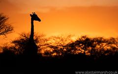 Giraffe Sunset (Alastair Marsh Photography) Tags: nature animal animals giraffes giraffe namibia africa sunset sun sunlight silhouette mammal dusk wildlife mammals okonjima africanwildlife africat africanmammals africanmammal okonjimareserve animalsintheirlandscape photography conservation travelphotography wildlifephotography africatfoundation