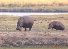 Hippo Mother & Young (peterkelly) Tags: digital canon 6d africa intrepidtravel capetowntovicfalls botswana chobenationalpark choberiver hippo hippopotamus commonhippopotamus baby water