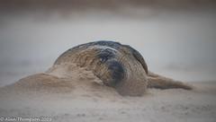 Pillow (Mister-Tee) Tags: winterton wintertononsea norfolk seal greyseal juvenilegreyseal marine sea coast nikon nikond750