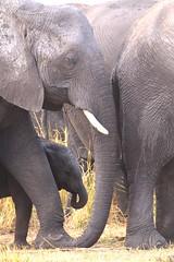 Protection Of The Herd (peterkelly) Tags: digital canon 6d africa intrepidtravel capetowntovicfalls botswana chobenationalpark choberiver savannaelephant elephant tusk baby savannahelephant