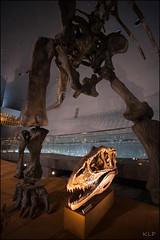 Size matters (katepedley) Tags: dinosaur dinosaurs skeleton fukui museum katsuyama central honshu japan prefecture nihon canon 5d 1740mm natural history bones geology paleontology palaeontology saurapod therapod carnivore herbivore legs skull teeth