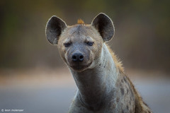 The beauty queen (leendert3) Tags: leonmolenaar southafrica krugernationalpark wildlife wilderness wildanimal nature naturereserve naturalhabitat mammal spottedhyena ngc npc