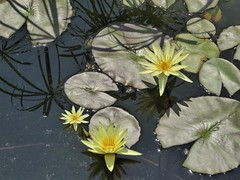 Chicago, Garfield Park Conservatory, Yellow Water Lilies (Mary Warren 14.6+ Million Views) Tags: chicago garfieldparkconservatory nature flora plants green leaves foliage lilypads water reflection yellow blooms blossoms flower waterlily coth5