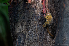 Monkey Mockery (pdxsafariguy) Tags: monkey cebuellapygmaea pygmymarmoset peru tree bark sap mammal animal wildlife pacayasamirianationalreserve amazon southamerica rainforest primate fur tongue feeding eating tomschwabel