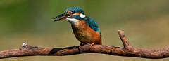 Martin-pêcheur / Kingfisher (Alcedo atthis) (francisaubry) Tags: kingfisher oiseau bird aves nikon nikkor nikkor200500mm martinpêcheur nikonflickraward