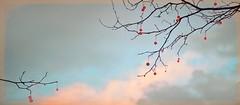 Klessebessen (bert • bakker) Tags: bush struik boom tree bes berry sky lucht wolken clouds nikon85mm18g
