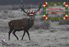 Merry Christmas Everyone (Ann and Chris) Tags: merrychristmas christmas card stag snow ice seasons greetings