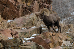 Bighorn Sheep #Explored (fascinationwildlife) Tags: animal mammal wild wildlife winter wildlifephotography wildtiere nature natur naturephotography naturfotografie waterton canyon bighorn sheep ram dickhornschaf mountains berge rut colorado usa america tiere nikon nikonphotography park fotografie photography