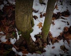 around a trunk, fallen leaves in snow, 11-17-19 (wbhmatthies) Tags: around trunk fallen leaves snow process growth decay panasonic panasonics1 gcs1 captureone12pro wilhelmmatthies