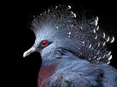 Feather Bonnet (helenehoffman) Tags: owensaviary aves conservationstatuscriticallyendangered bird sandiegozoo nest gouravictoria newguinea victoriacrownedpigeon animal coth coth5 alittlebeauty specanimal