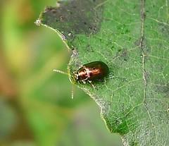Chrysomelidae. Crepidodera aurea (gailhampshire) Tags: chrysomelidae crepidodera aurea taxonomy:binomial=crepidoderaaurea