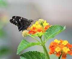 Hammock Skipper (ACEZandEIGHTZ) Tags: polygonusleo nikond3200 hammockskipper flyinginsect wings winged nature lantana flowers macro bokeh closeup butterfly
