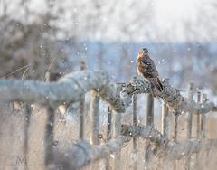 Northern Harrier's fence (marianna armata) Tags: fence friday hff shortearedowl owl post winter snow ontario canada mariannaarmata