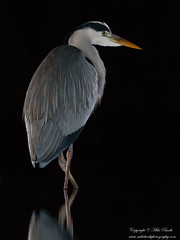Grey Heron (Ardea cinerea) (www.mikebarthphotography.com 2M Views thanks !) Tags: ardeacinerea greyheron