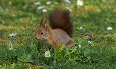 a Red squirrel (Franck Zumella) Tags: squirrel red ecureuil roux rouge wildlife vie sauvage nature forest foret wood bois eat manger animal green vert grass herbe ground sol