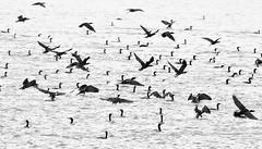 France, cormorants (Vittorio Ricci (thanks for 5.1 millions views)) Tags: cormorants flight takeoff