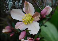 hellebore....... (atsjebosma) Tags: flower bloem hellebore helleborus garden tuin winter atsjebosma december 2019 bloeien blooming coth5 ngc npc