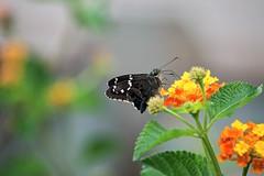 Hammock Skipper (ACEZandEIGHTZ) Tags: bokeh flowers lantana nature hammockskipper polygonusleo butterfly wings winged nikond3200 macro closeup flyinginsect