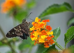 Hammock Skipper (ACEZandEIGHTZ) Tags: hammockskipper polygonusleo nikond3200 flyinginsect wings winged nature macro closeup bokeh lantana flowers butterfly