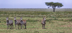 A Look Full Of Expectancy (AnyMotion) Tags: plainszebra steppenzebra equusquagga plains ebene grassland landscape landschaft 2018 anymotion ndutu ngorongoroconservationarea tanzania tansania africa afrika travel reisen animal animals tiere nature natur wildlife 7d2 canoneos7dmarkii ngc npc